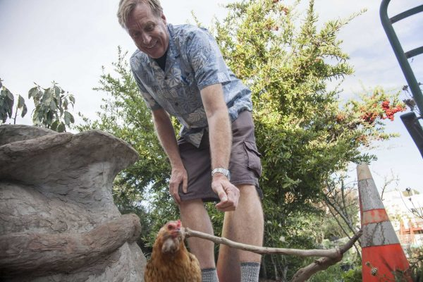 Peter Vaernet, a major proponent for the Sisterhood Farms at Brotherhood Way Project, shepherds a chicken back to its cage at Brooks Park Community Garden Monday, Oct. 6, 2014. Martin Bustamante / Xpress.