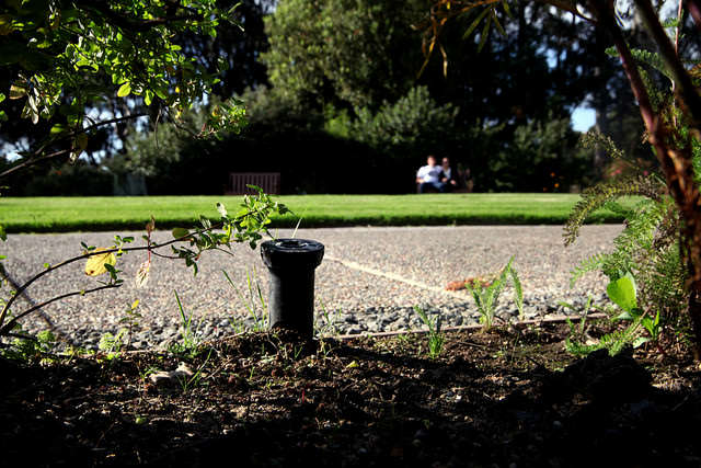 A sprinkler head hides in the gardens above the Student Health Center on camp at SF State. Many of the irrigation systems on campus have been converted to reduce water use says, SF State sustainability coordinator, Sharon Darophonhdeth.