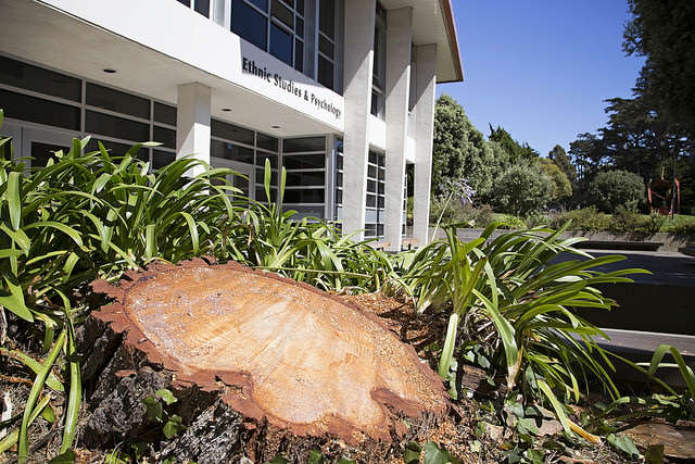 A stump is all that remains of a tree that was taken down in front of the Ethnic Studies and Pyschology Building, Monday, Sept. 15, 2014.