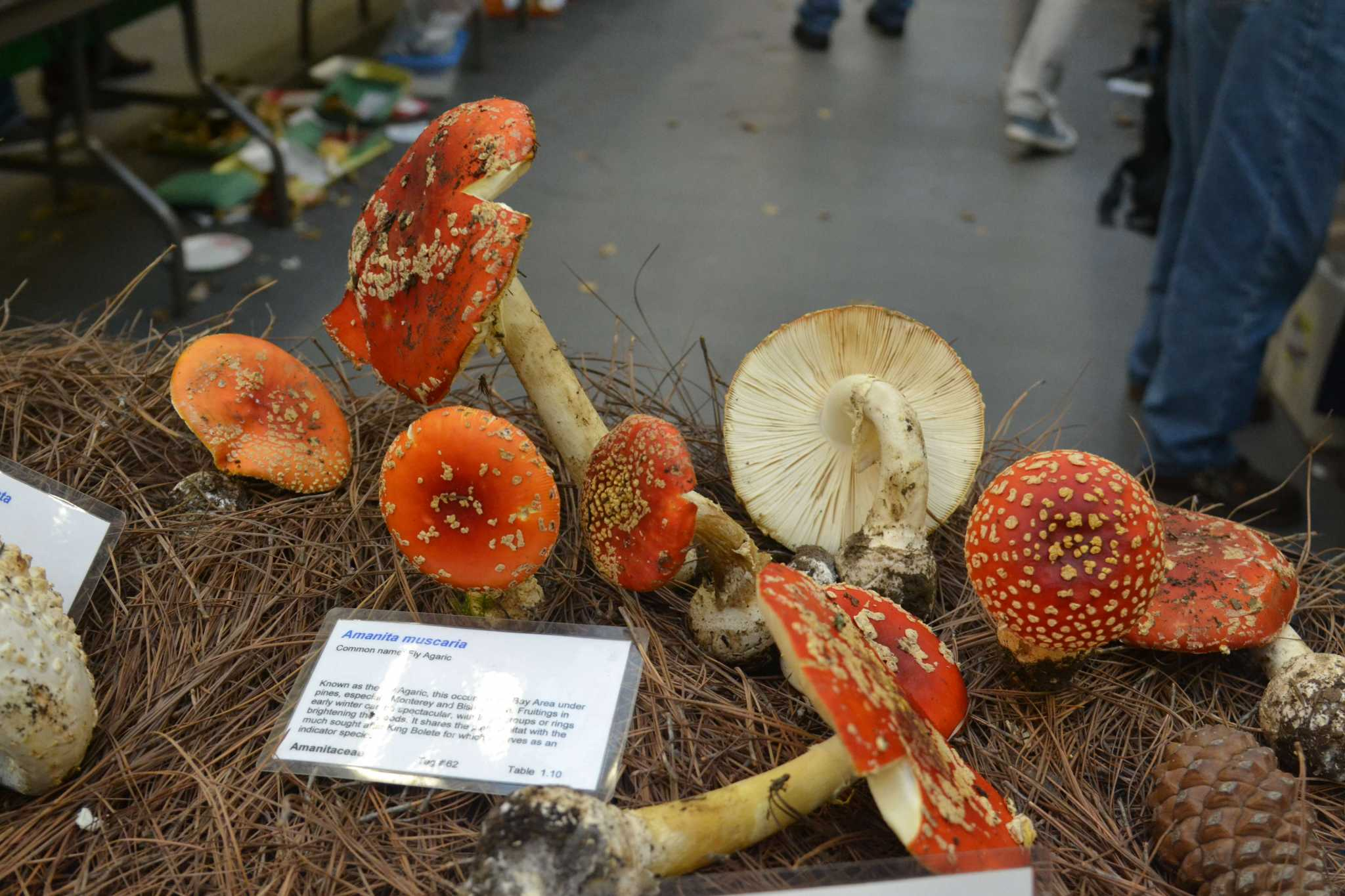 Some Amanita muscaria mushrooms are displayed at the annual Fungus Fair, put on by the Mycological Society of San Francisco. Sunday, December 7th, 2014.  Helen Tinna/Xpress