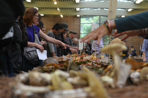 Guests examine the hands-on mushroom display tables at the annual Fungus Fair, put on by the Mycological Society of San Francisco on Sunday, Dec. 7.  Helen Tinna/Xpress