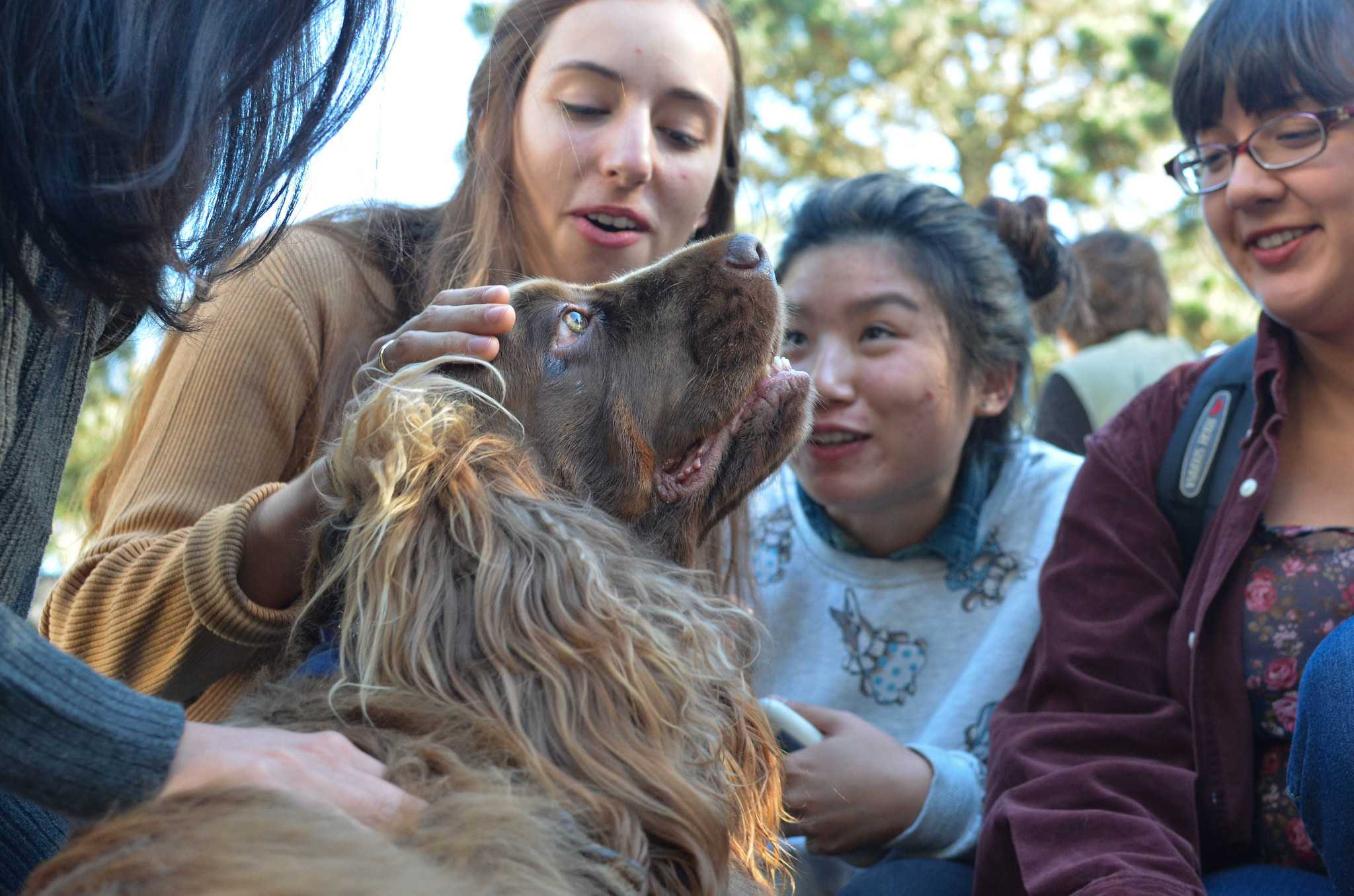 Students pet Jackie, a therapy dog, during Therapy Dog Tuesday in the Malcolm X Plaza Tuesday, Nov. 3. Therapy dogs are brought to SF State every first and third Tuesday each month to help students relieve stress. (Melissa Minton / Xpress)