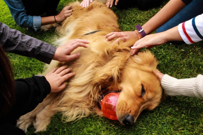 SF State students surround and pet Brixton, a 3-year-old golden retriever during the first Therapy Dog Tuesday of the semester on top of the Student Health Center on Tuesday, Sept. 20, 2016. Certified therapy dogs can found on campus every first and third Tuesday of every month.