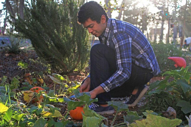 SF State Environmentally Concerned Organization member Marc Hernandez harvests pumpkins from the Sol Patch Community Garden in honor of the fall equinox during the organization's end of summer garden celebration on Wednesday, Sept. 21, 2016.