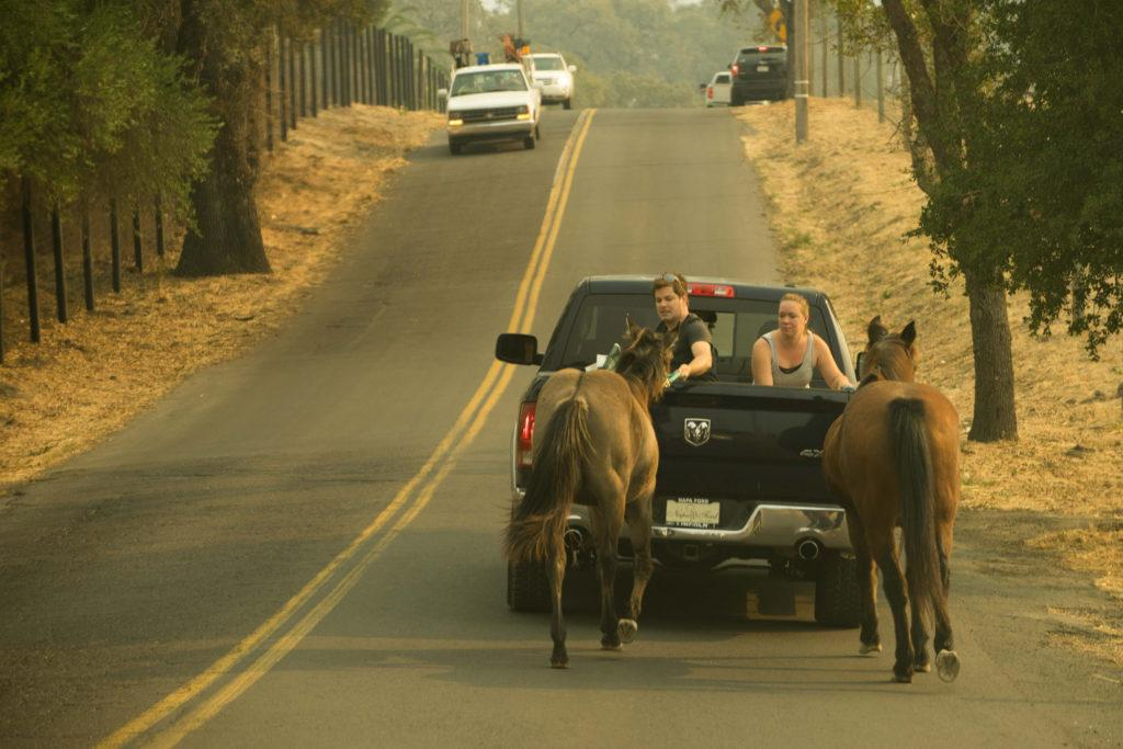 People+transport+their+horses+to+safety+following+multiple+fires+in+Napa%2C+Sonoma+County%2C+Monday%2C+Oct.+7%2C+2017.+%28Sarahbeth+Maney%2FGolden+Gate+Xpress%29