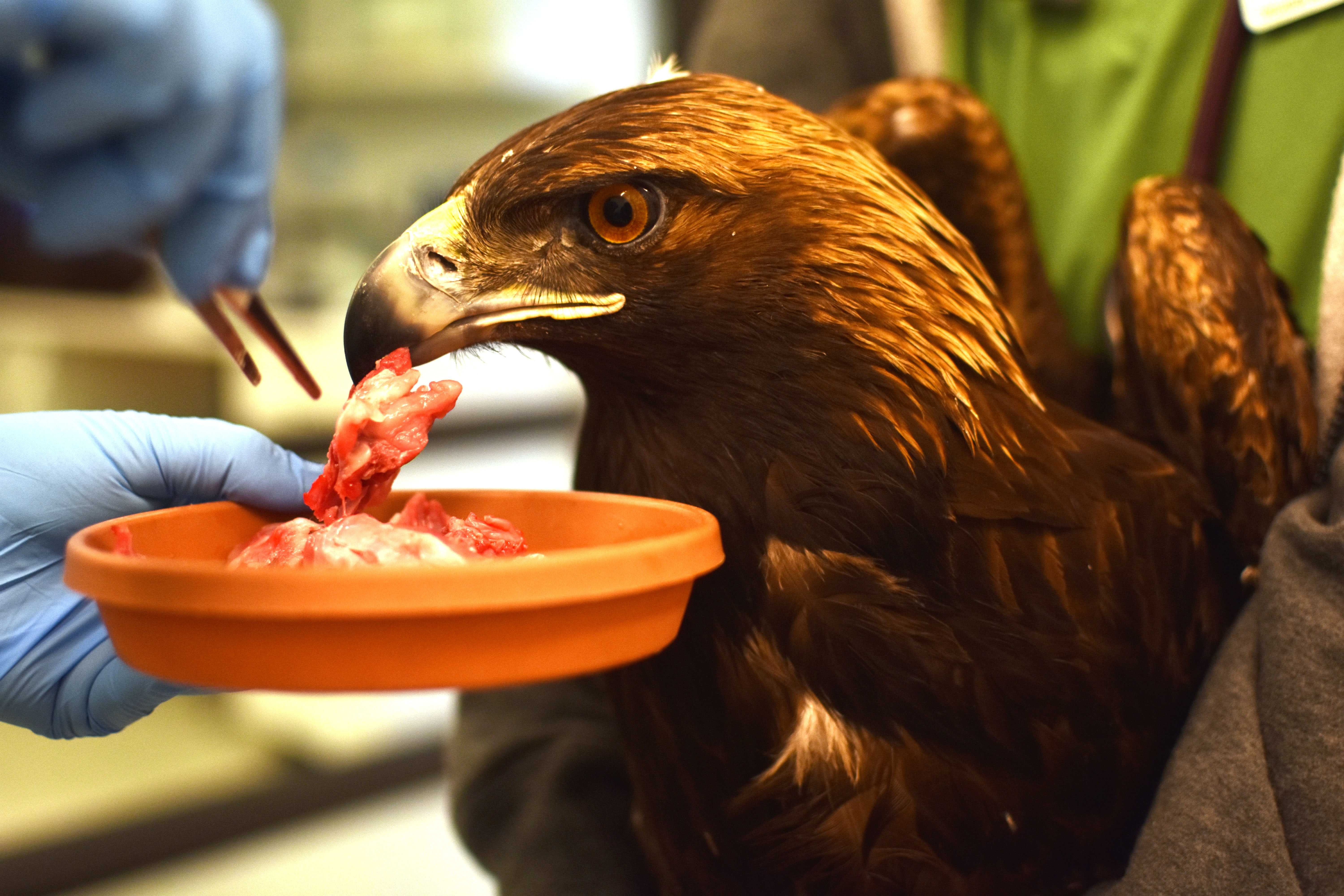 Taylor Bloch feeds meat to a golden eagle while Shannon McClain holds it still at Lindsay Wildlife Rehabilitation Hospital in Walnut Creek on Sunday, Jan. 27.