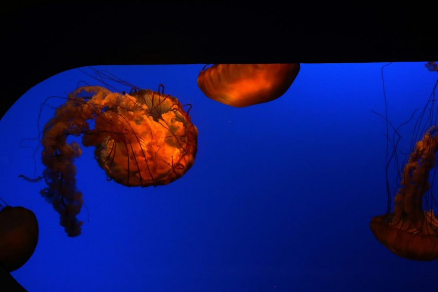 Jelly fish float in the aquarium exhibit at the Academy of Science on Feb. 6, 2020. (Catherine Stites / Golden Gate Xpress)