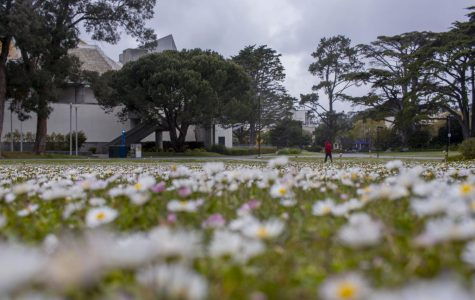 A field of daisies remains uncut in front of the Cesar Chavez Student Center  at SF State. (Emily Curiel / Golden Gate Xpress)