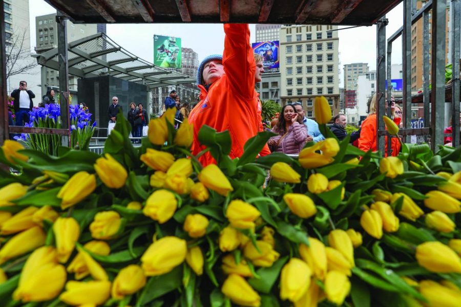 Tulips are stacked and handed out by volunteers in order to adhere to San Francisco health regulations spurred by recent COVID-19 developments during the American Tulip Festival at Union Square on March 7,2020 (Photo by William Wendelman)