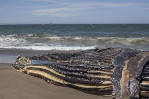 A 32-foot-long humpback whale carcass rests on the sand at Baker Beach in San Francisco, California, on Wednesday, April 22, 2020. (Emily Curiel / Golden Gate Xpress)
