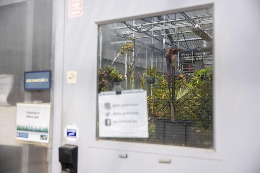A dwarf corpse flower (Konjac), which bloomed for a week, slumps over its surviving stem behind door number three at a SF State greenhouse on Oct. 28, 2020 in San Francisco. (Emily Curiel / Golden Gate Xpress)
