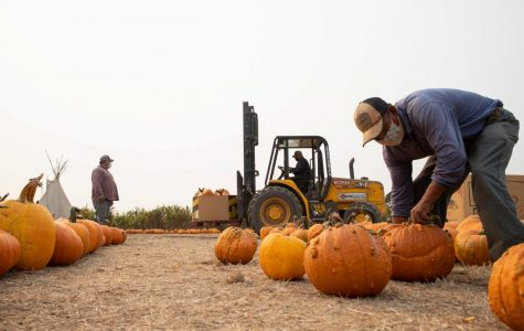 Miguel Serebia packs as many as pumpkins he can into the row but also leave a big trail for customers to be able to walk along with their red wagons Nearing closing time, Farmer John waits on a haystack observing potential customers and waits for new arrivals in Half Moon Bay, California on October 1st, 2020. This area is for more pumpkins to be set up. (Sebastian Mino-Bucheli / Golden Gate Xpress)